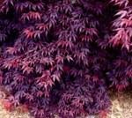 Acer palmatum 'Bloodgood'/ japansk lönn