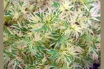 Acer palmatum 'Butterfly'/ japansk lönn