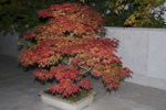 Acer palmatum 'Deshojo'/ japansk lönn