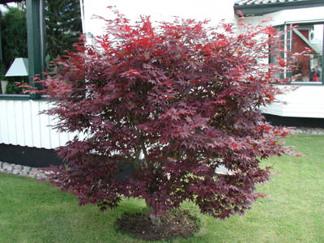 Acer palmatum 'Atropurpureum'/ japansk lönn - 60-80 cm RB