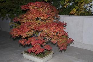 Acer palmatum 'Deshojo'/ japansk lönn  - Acer palmatum 'Deshojo'/ japansk lönn 60-80 cm RB/ C 5