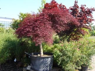 Acer palmatum 'Garnet'/ rödbladig japansk fliklönn  - 40-50 cm RB/C 5