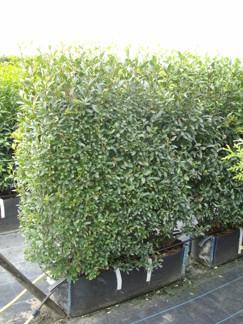 Ligustrum vulgaris - Ligustrum vulgaris/Liguster 130 cm