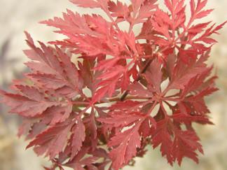 Acer palmatum 'Inaba- shidare  - Acer palmatum 'Inaba- shidare' 40-50 cm RB/C5