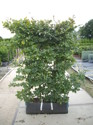 Fagus syl. Readybag