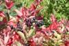 Aronia melanocarpa/ Svartaronia
