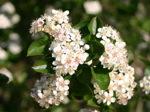 Aronia prunifolia 'Viking' / Slånaronia