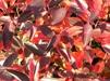 Aronia melanocarpa 'Hugin' / Liten svartaroniabuskar