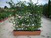 Carpinus betulus / Avenbok - 1 år 90-100 cm