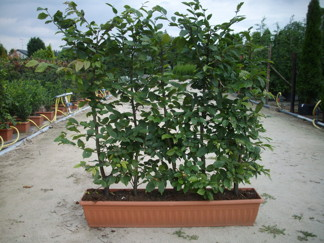 Carpinus betulus / Avenbok