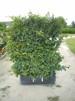 Carpinus betulus / Avenbok - 2 år 120-140 cm