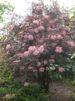 Sambucus nigra 'Black Lace' / Blodfläder