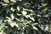 Eleagnus ebbingei / Oleaster 180 cm