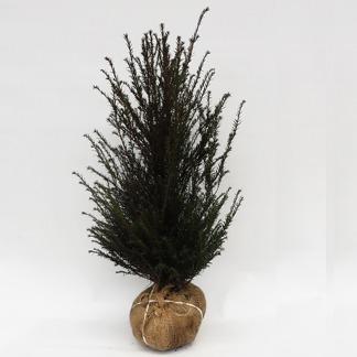 Taxus baccata / idegran 100-125 cm, 40 stycken på pall
