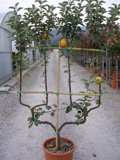 Malus dom. Royal Gala / Äppelträd