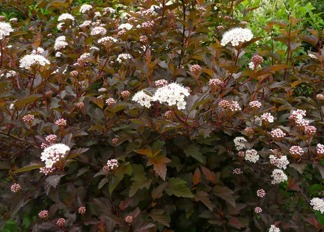 Phsocarpus opulifolius 'Diable d'or'