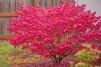 Euonymus europaeus 'Red Cascade' - Sol 100-125 cm C12