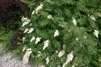 Sorbaria sorbifolia / Rönnspira
