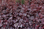 Heuchera micrantha 'Plum pudding'