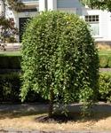 Salix Caprea Pendula / Hängsälg