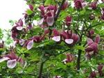 Magnolia liliiflora Nigra /Röd Praktmagnolia