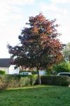 Acer platanoides 'Crimson King' / Rödbladig skogslönn