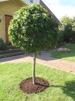 Liquidambar Styraciflua Gum Ball/ Ambraträd - Stam 110/120 cm stamomkr. 18/20 cm C50