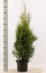 Thuja occ. Brabant 80-100 cm i C5 på pall/ 50 st.