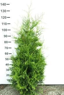 Thuja occ. Brabant 100-120 cm med jordklump på pall/ 50 st. Fraktfri