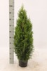 Thuja occ. Smaragd 60-80 cm C3, 100 st.
