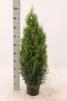 Thuja occ. Smaragd 60-80 cm C3, 300 st.