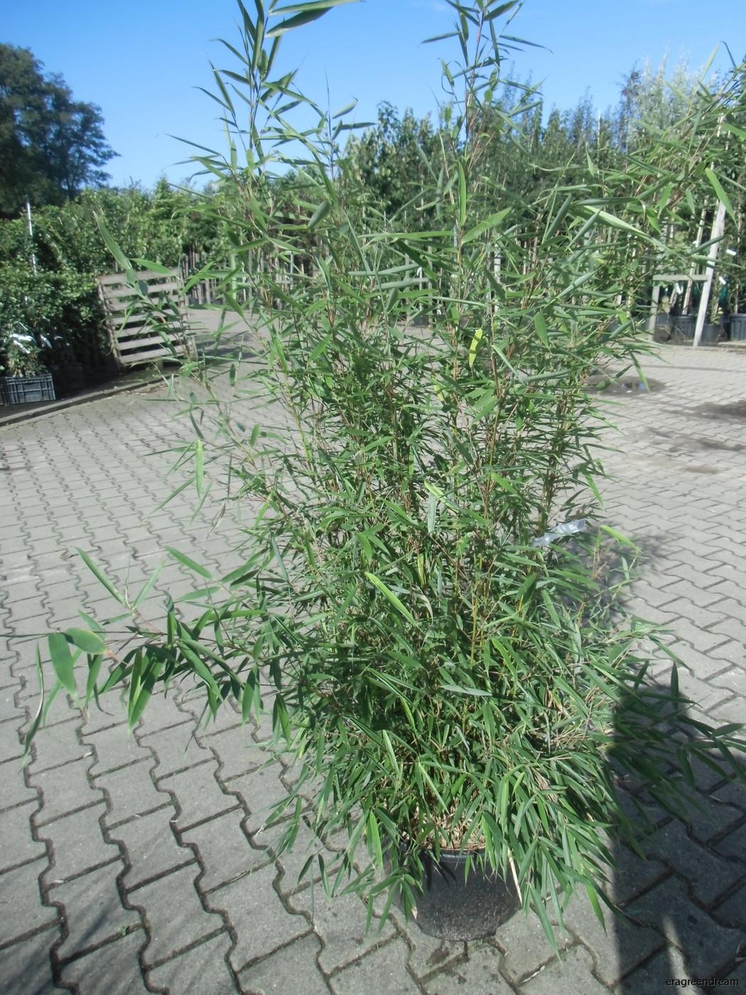Fargesia robusta 100-125 c 20