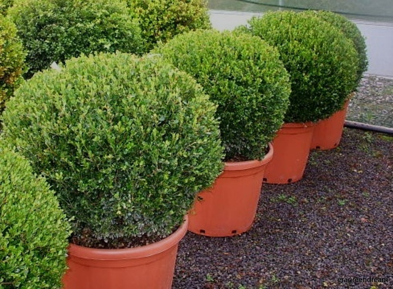buxus_microphylla_faulkner_2