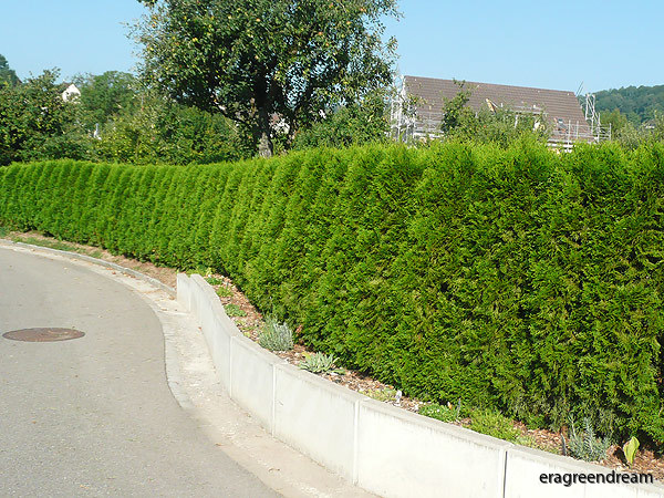 Thuja-occidentalis-Smaragd-4
