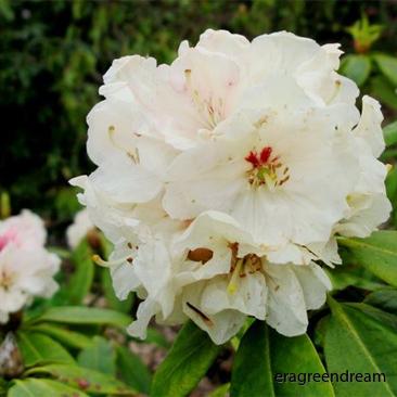 rhododendron_elsie_straver