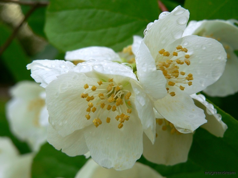 philadelphus_coronarius blommor