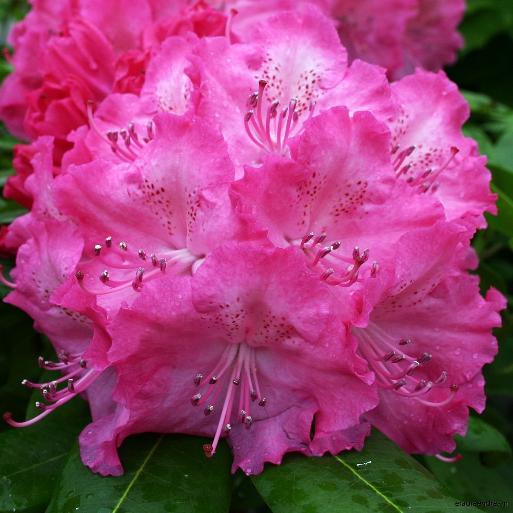 Rhododendron ' Germania'--