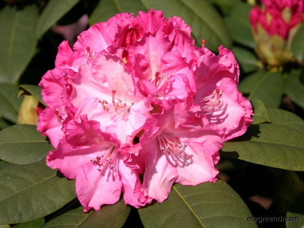 Rhododendron ' Germania'-