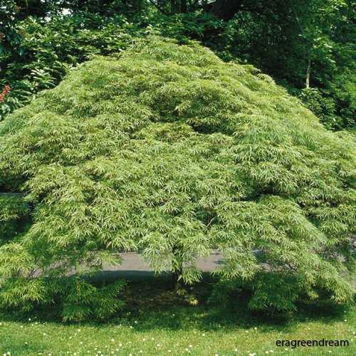 Acer palmatum ' Osakazuki'