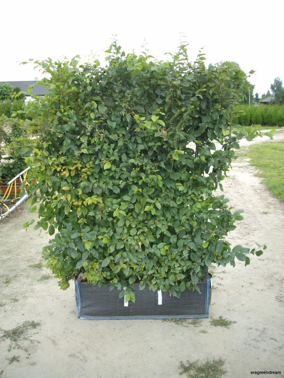 Carpinus betulus Readybag