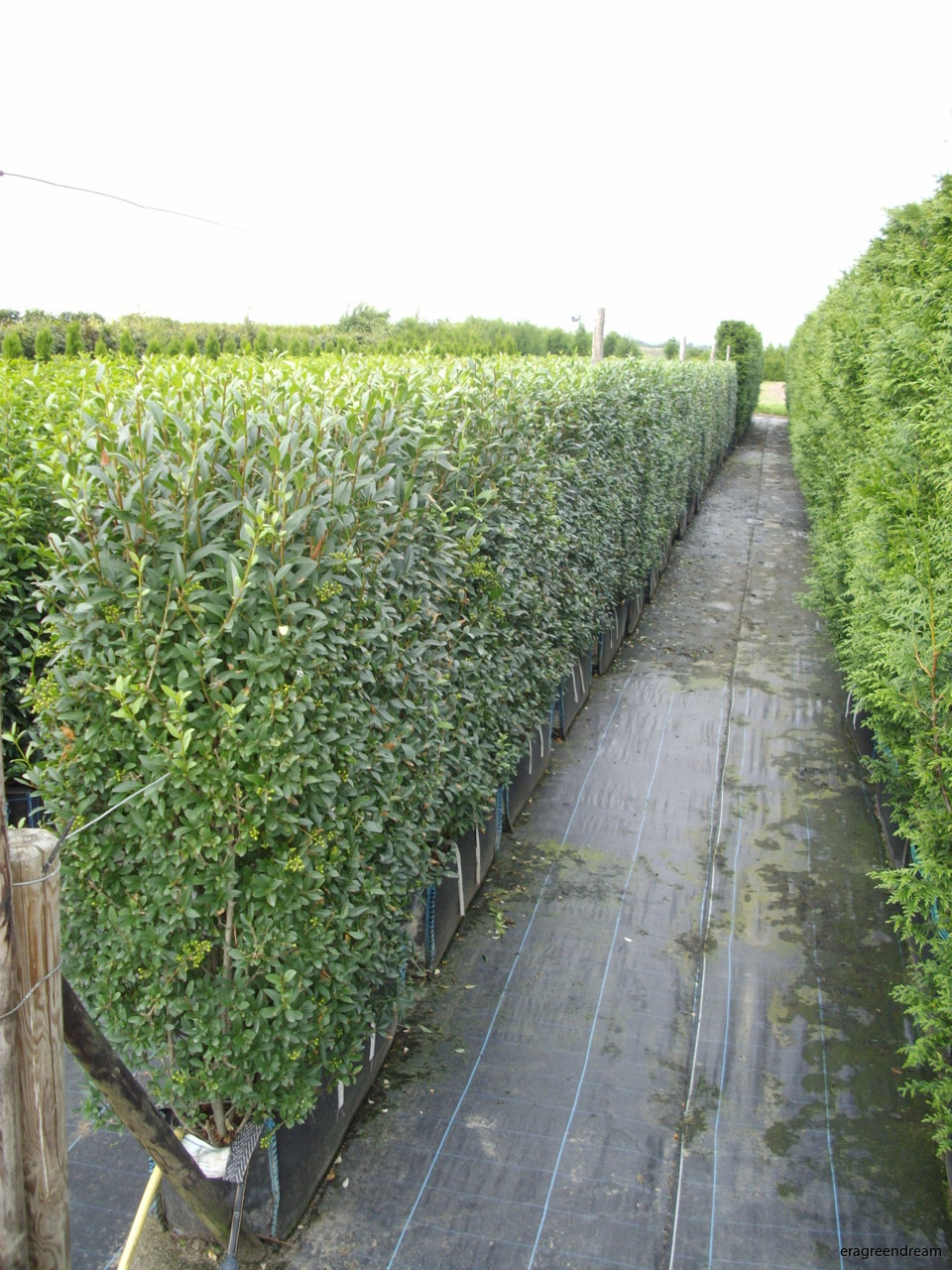 20-8-13 Ligustrum vulgaris Readybag (2)