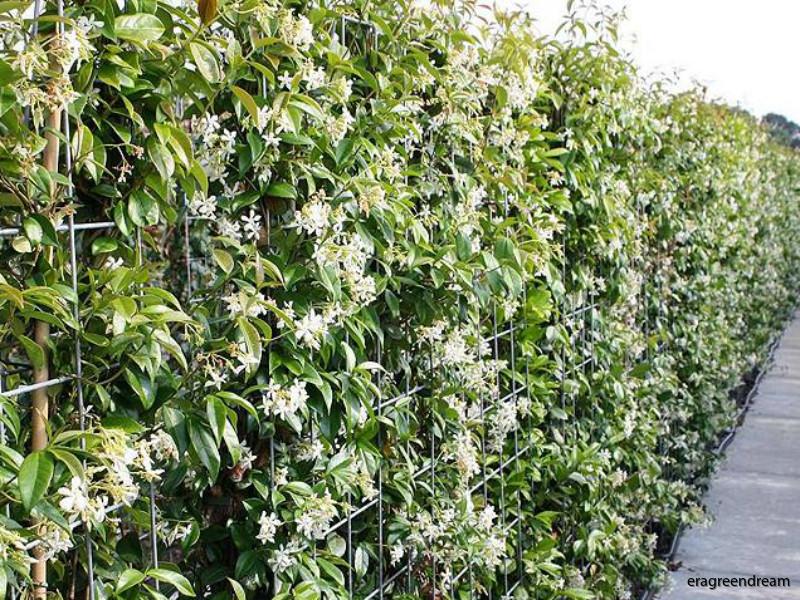 trachelospermum_jasminoides_groen