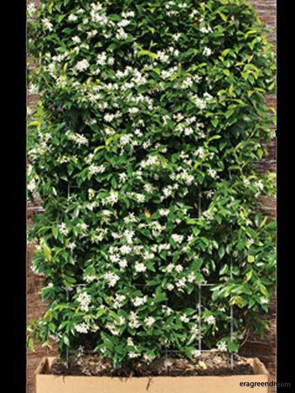 trachelospermum_jasminoides_1_element