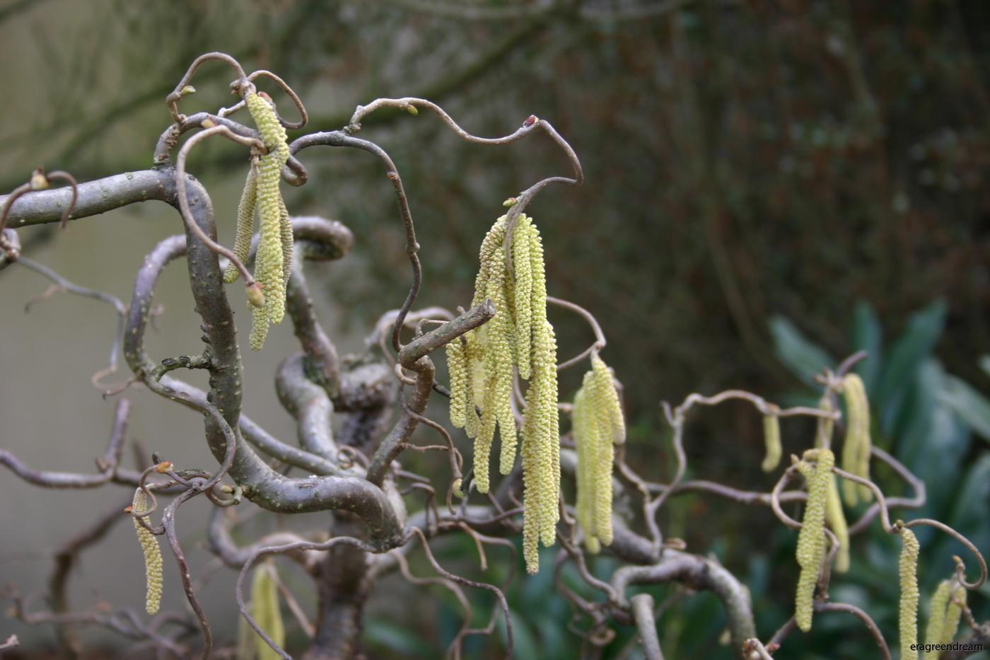 Corylus avellana contorta 1