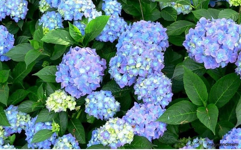 Hydrangea Forever & Ever Blue