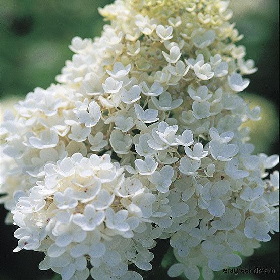 Hydrangea_paniculata_Grandiflora