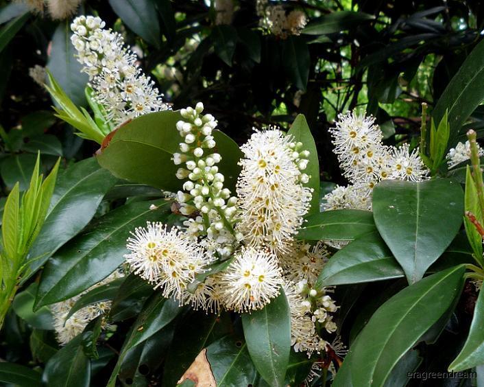 Prunus l. Mano