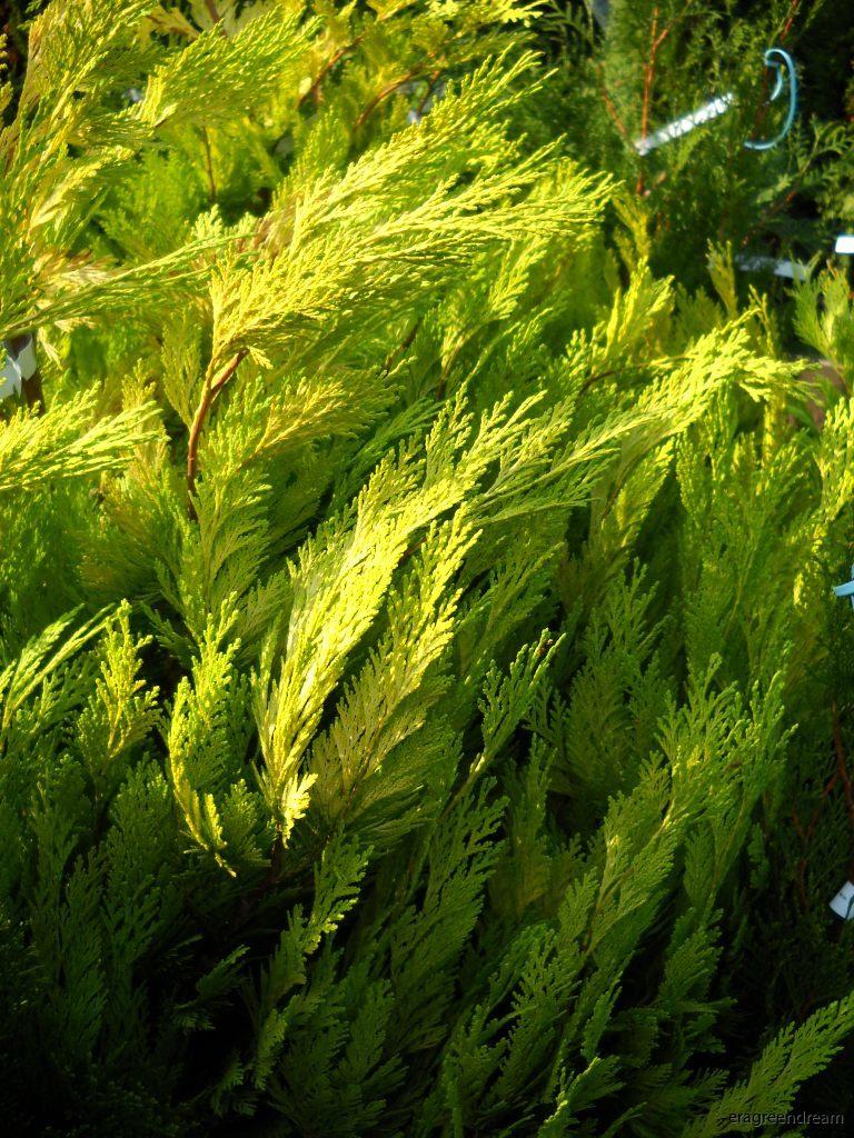 chmaecyparis lawsoniana erecta aurea