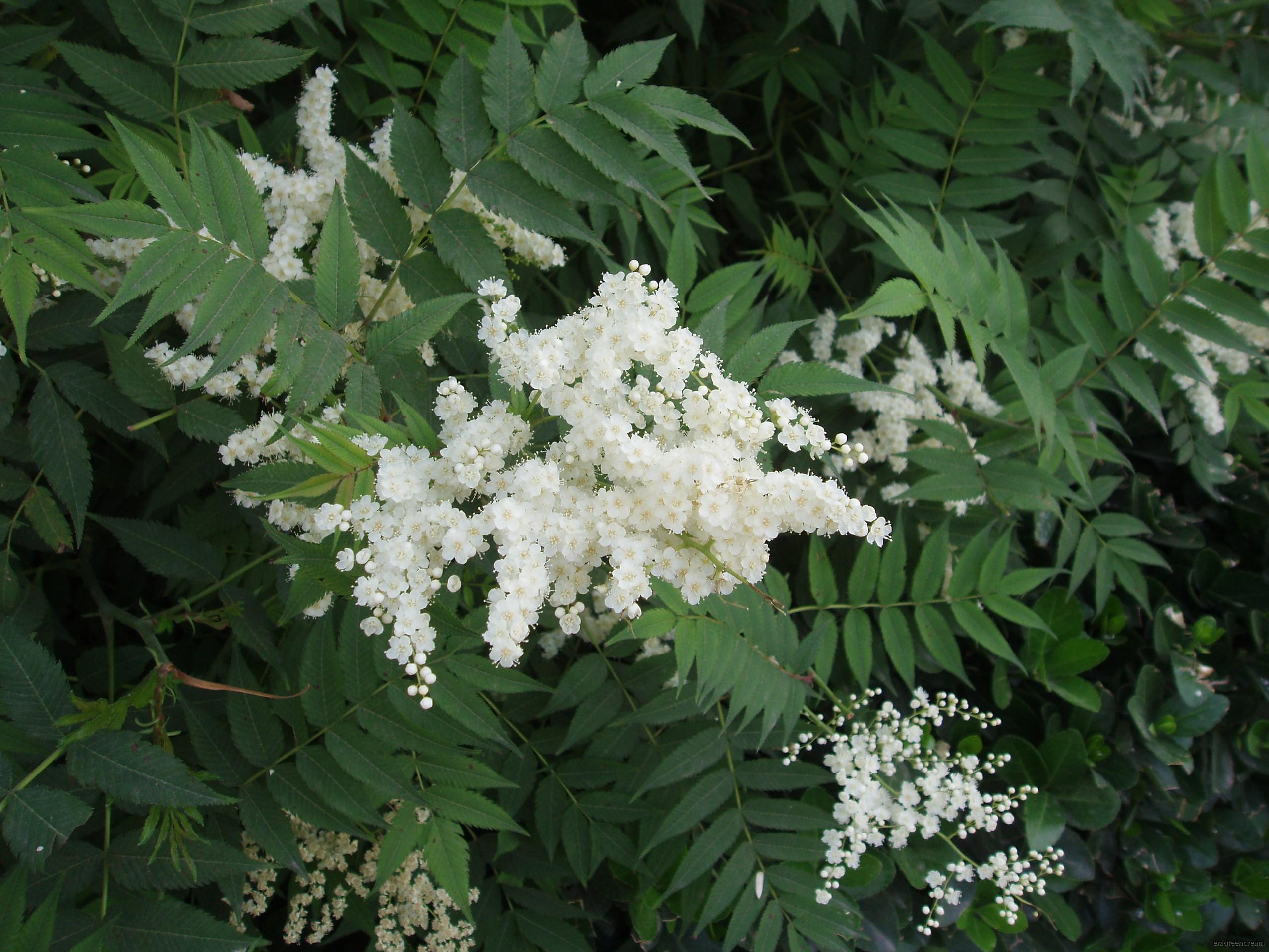 Sorbaria Sorbifolia 1a