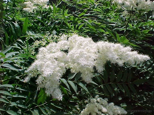 Sorbaria sorbifolia 1